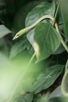 Couleuvre orientale dans la brousse