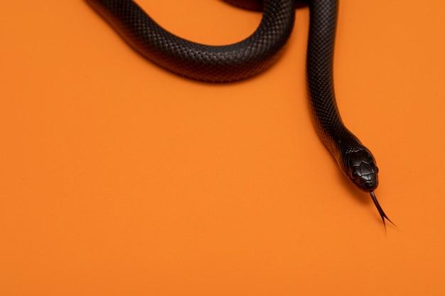La couleuvre royale du mexique (lampropeltis getula nigrita) fait partie de la grande famille des colubridés et une sous-espèce de la couleuvre royale.
