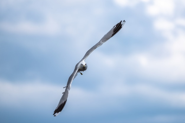 Coup de focus peu profond d'une mouette en vol