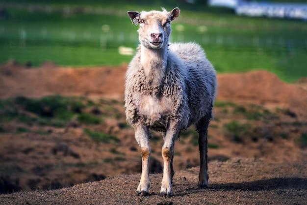 Coup de focus peu profond d'un mouton blanc debout dans un champ