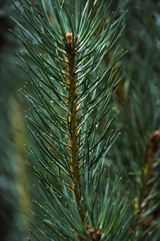 Coup de macro de branche de pin