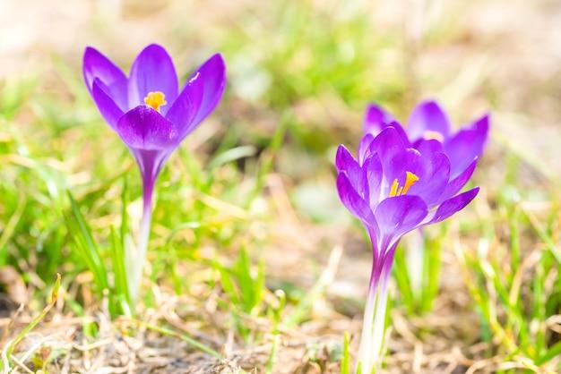 Coup de macro de crocus de fleurs violettes de printemps avec un fond doux