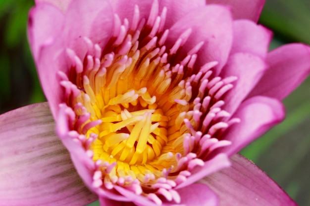 Coup de macro d'une fleur de lotus rose