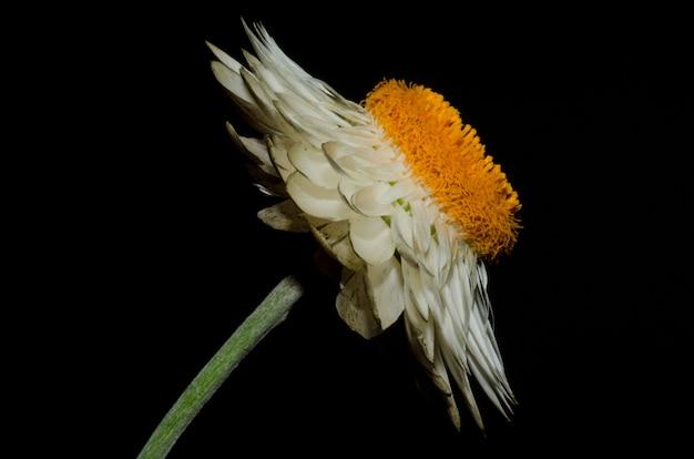 Coup de macro de fleur de marguerite blanche sur fond noir