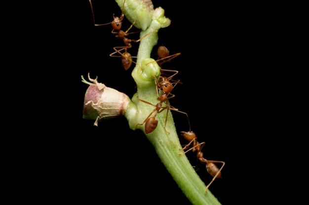 Coup de macro de fourmi rouge dans la nature. la fourmi rouge est très petite. mise au point sélective,