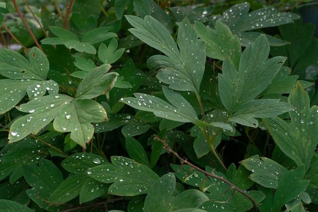 Coup de macro de gouttes de pluie sur les feuilles vertes. goutte de rosée sur une feuille de plante