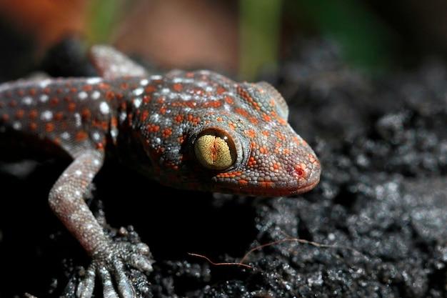 Coup de macro de l'oeil d'un tokay gecko (gecko gecko).