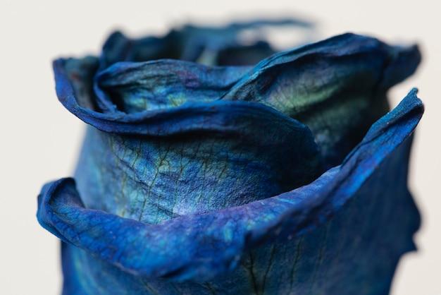 Coup de macro de rose bleue séchée