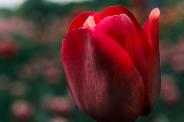 Coup de macro d'une seule fleur de tulipe rouge