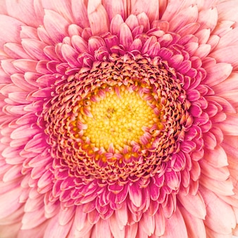 Coup de macro de toile de fond fleur gerbera rose