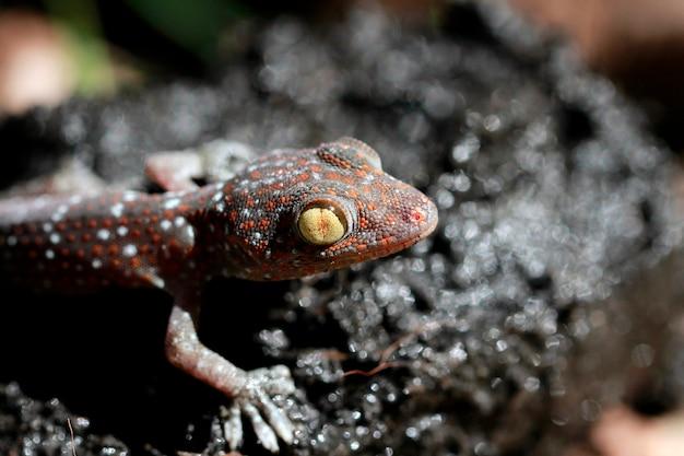 Coup de macro d'un tokay gecko (gecko gecko).