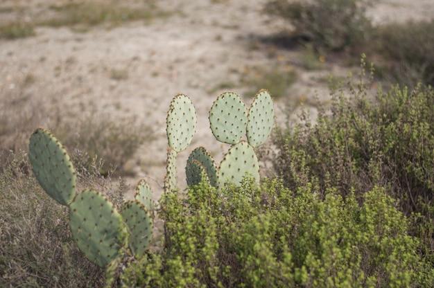 Coup de mise au point peu profonde d'un cactus de figue de barbarie