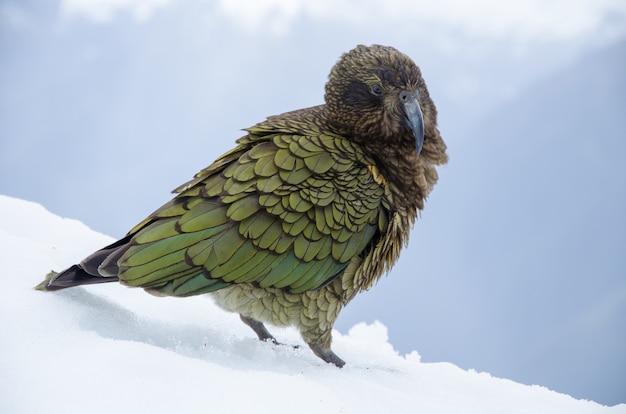 Coup de mise au point peu profonde d'un nestor kea en nouvelle-zélande