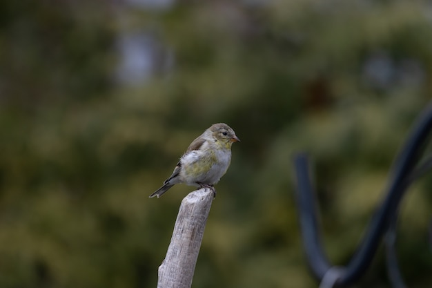 Coup de mise au point peu profonde d'un oiseau chardonneret américain reposant sur une brindille