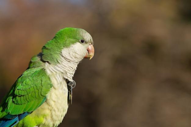Coup de mise au point sélective d'un bel oiseau perruche moine