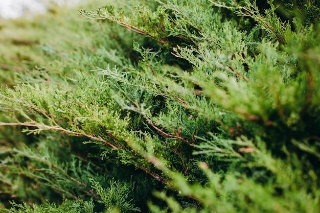 Coup de mise au point sélective de branches d'arbres à feuilles persistantes thuja