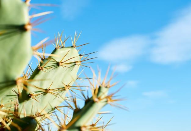 Coup de mise au point sélective de cactus de figue de barbarie sous la lumière du soleil