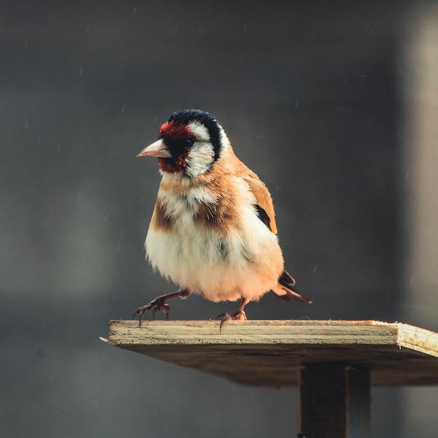 Coup de mise au point sélective d'un carduelis assis sur une planche de bois