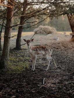 Coup de mise au point sélective d'un cerf de virginie dans une terre agricole