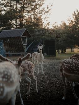 Coup de mise au point sélective de cerfs de virginie dans une terre agricole