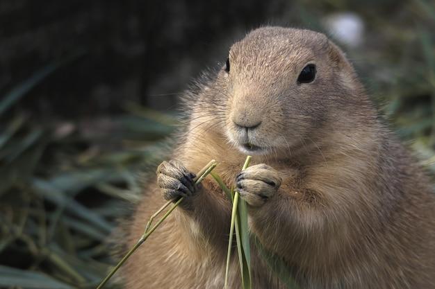 Coup de mise au point sélective d'un chien de prairie mange de l'herbe
