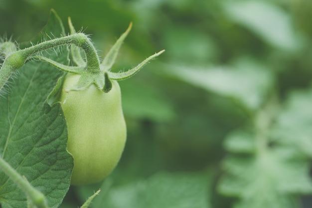 Coup de mise au point sélective de la culture du poivre vert