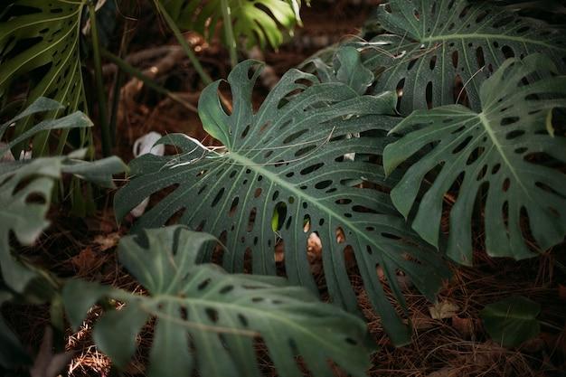 Coup de mise au point sélective de feuilles de monstera