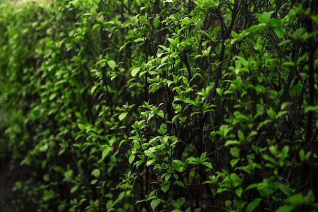 Coup de mise au point sélective des feuilles sur les vignes