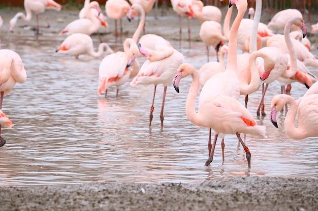Coup de mise au point sélective de flamants roses debout dans l'eau
