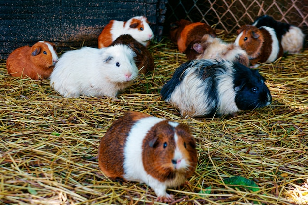 Coup de mise au point sélective de hamsters marchant sur le sol
