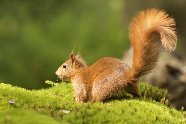 Coup de mise au point sélective d'un mignon écureuil renard brun