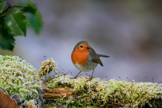 Coup de mise au point sélective d'un mignon oiseau robin européen assis sur la branche moussue