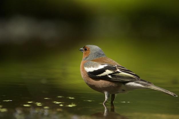 Coup de mise au point sélective d'un oiseau pinson mignon