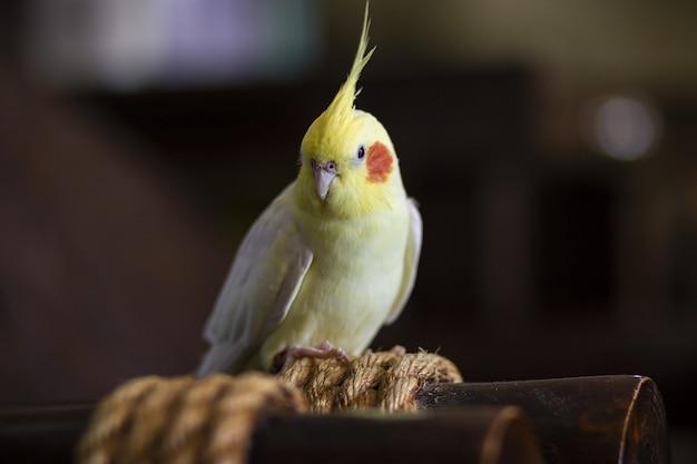 Coup de mise au point sélective d'un perroquet coq jaune et blanc