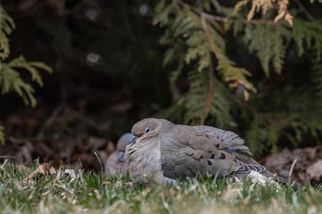 Coup de mise au point sélective d'un pigeon sur un champ herbeux