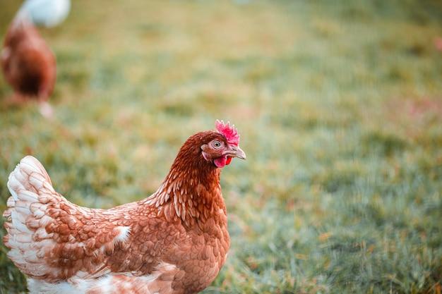 Coup de mise au point sélective d'un poulet sur l'herbe à la ferme