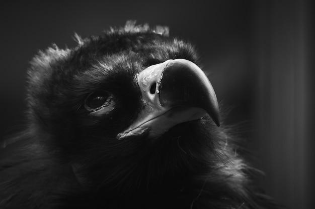 Coup de mise au point sélective d'un vautour noir