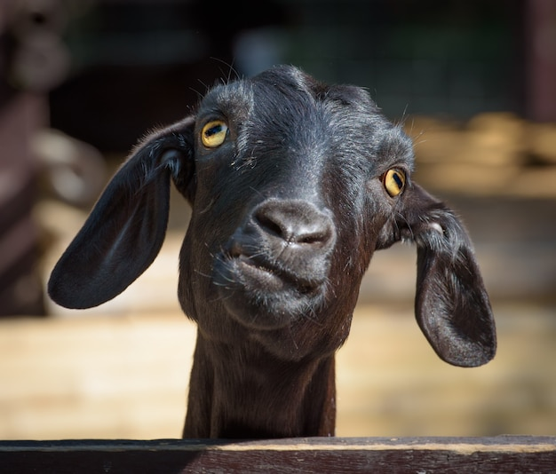 Coup de tête de chèvre noire faisant la grimace