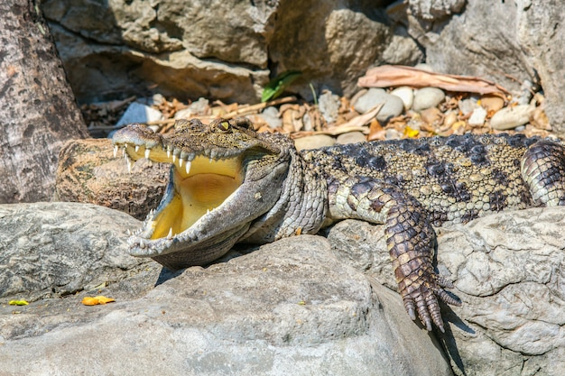 Coup de tête de crocodile siamois