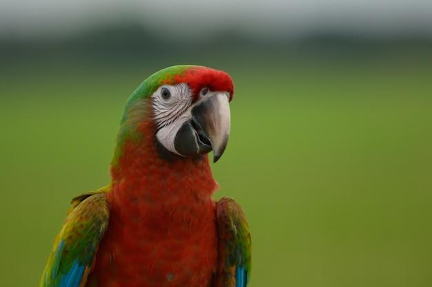Coup de tête d'oiseau macaw, bel oiseau