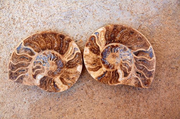 Coupe d'escargot fossile d'ammonites trouvée à teruel