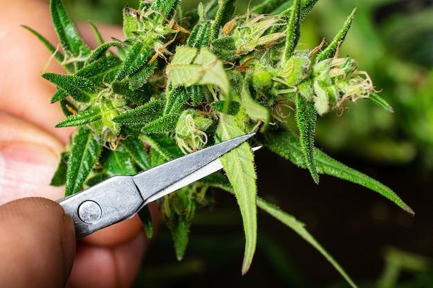 Couper les bourgeons de cannabis avec des ciseaux en gros plan