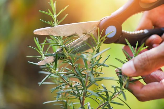 Couper les plantes de romarin qui poussent dans le jardin pour les extraits d'huile essentielle / élagage des herbes de romarin frais nature fond vert