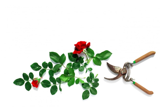 Couper des roses