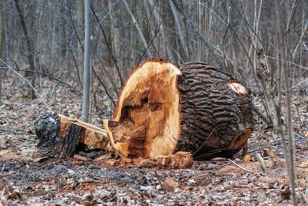 Couper Le Vieux Tronc D'arbre Malade Dans Un Parc Public Au Début Du Printemps Photo Premium