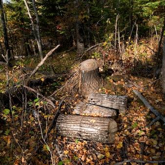 Coupes d'arbres dans une forêt, lac des bois, ontario, canada