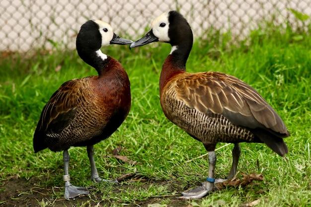 Couple de canards s'embrassent