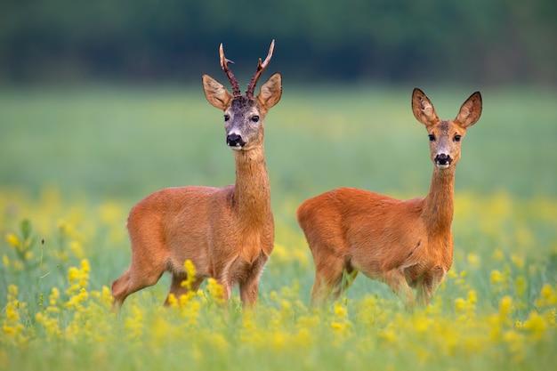 Couple de chevreuils sur un champ avec des fleurs sauvages jaunes