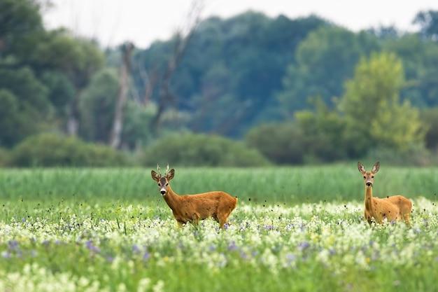 Couple de chevreuils marchant sur une prairie fleurie en été