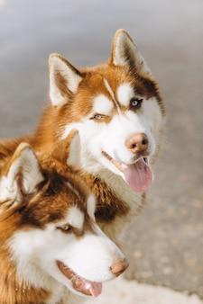 Couple de chiens husky blanc brunâtre avec des yeux bleus